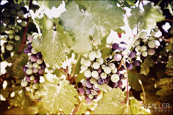 mount palomar winery grapes